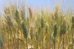 pšenice, lepek, obilí