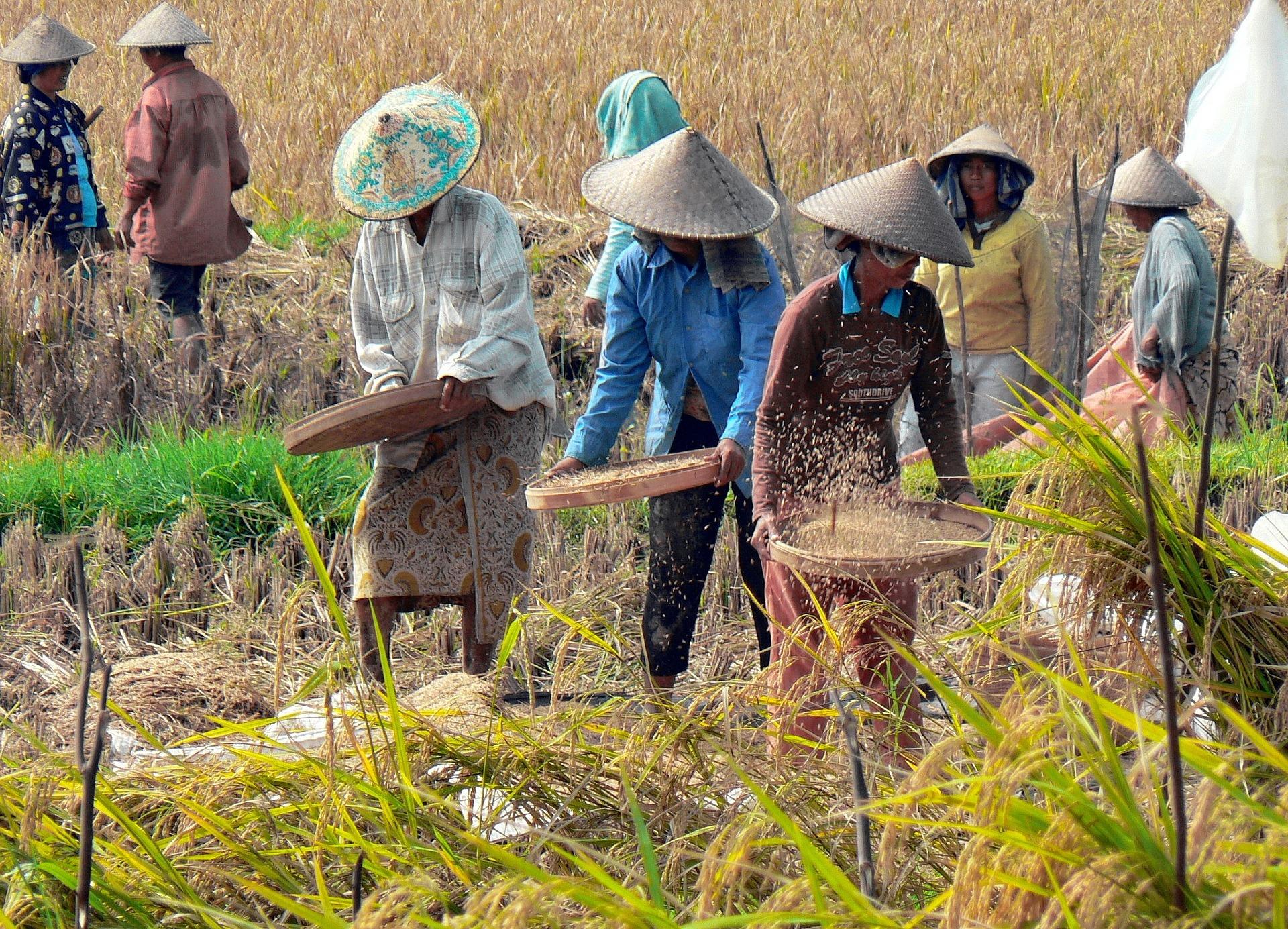 Plastová rýže z Asie se blíží. Podívejte se, jak ji rozpoznat.